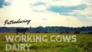 Working Cows local organic dairy farm