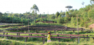 Woman coffee producer with coffee drying beds at Nemba station in Burundi.