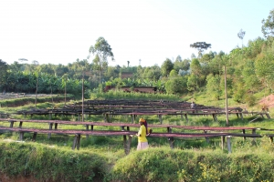 Burundi coffee beans drying. Coffee by producers at Nemba Coffee Copperative