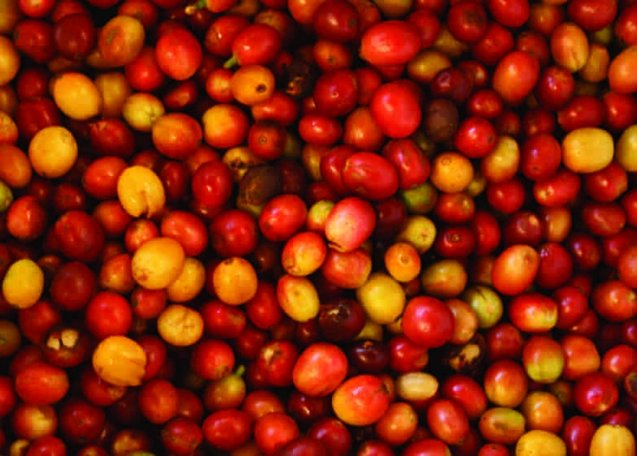 Amavida Coffee Roasters' best organic coffee from leaves farms as unprocessed coffee cherries and journies thousands of miles to the cup in your hands.