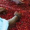 Producers' hand-picking coffee cherries from Rwanda.