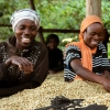 Smiling coffee Farmers at Kanyege in Rwanda, working and sorting honey process coffee beans.