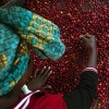 A top down view of a woman coffee producer picking the best coffee from Kanyege in Rwanda.
