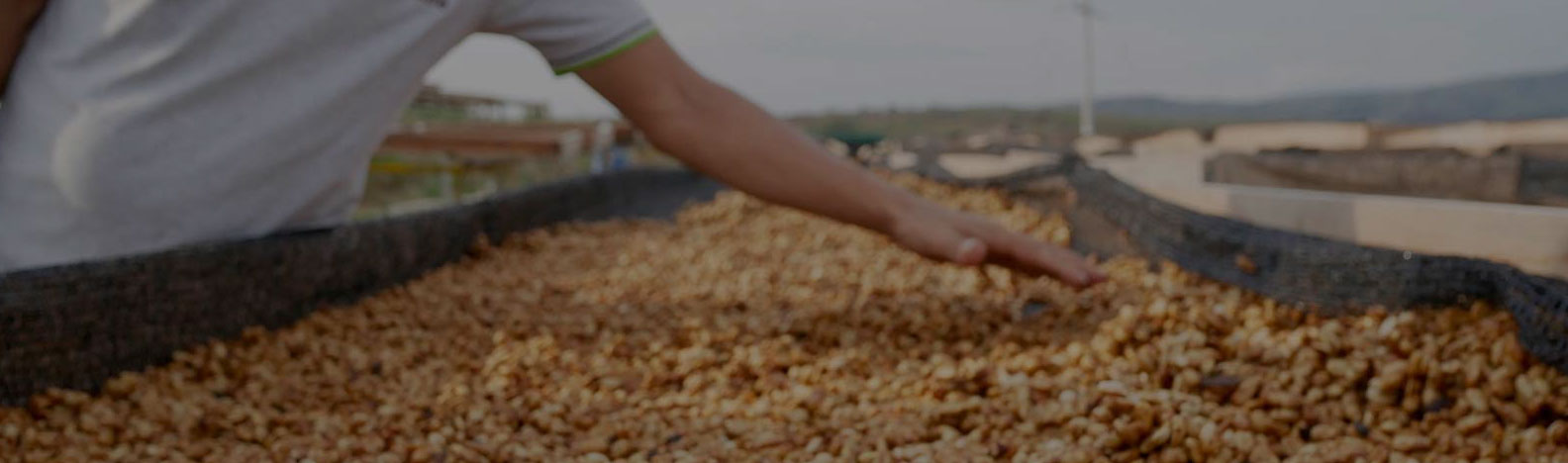 Organic coffee beans seen spread on drying bed with a hand grazing over them.
