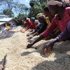 Coffee producers seen picking the best Ethiopian coffee beans from drying beds.