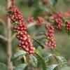 Ripe Ethiopian coffee cherries growing in the community of Yabitu Koba in the Guji region.
