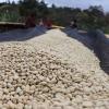 A long row of Ethiopia Coffee at Yabitu Koba processing on sun drying beds.