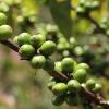 Green specialty coffee cherries growing on tree at Kenya Kahete