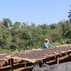 Ethiopia Idido Aricha's organic coffee processing on drying beds, as is popular in Ethiopia.