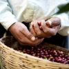 The hands of a coffee producers facing challenges of climate change and his basket full of hand selected coffee cherries.