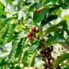 "Peru Gesha microlot coffee cherries growing at Homer Alarcón Gayoso's organic farm ""Finca El Cedrillo"""