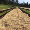 Kenya coffee reserve drying on raised beds for 7-15 days at Gathathi