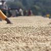 High quality Ethiopian Coffee beans seen drying at Genji Challa washing station